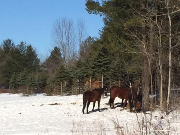horses-ROW