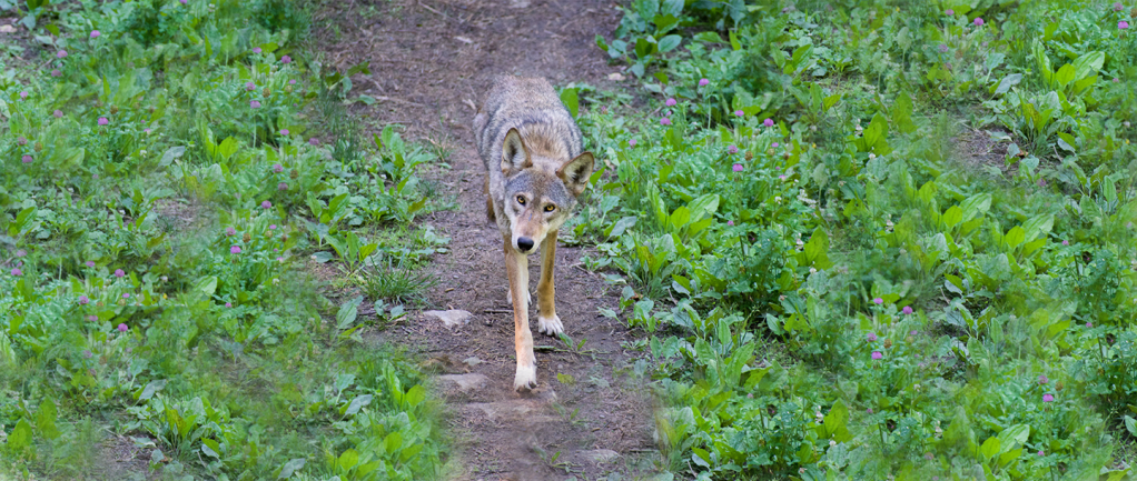 Will the American red wolf go extinct? Not if this zoo can help it.